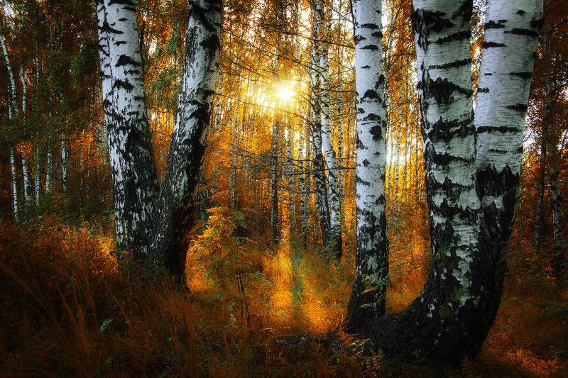 осень, закат, березы, лес Разлилось осеннее золото в березовой роще...photo preview