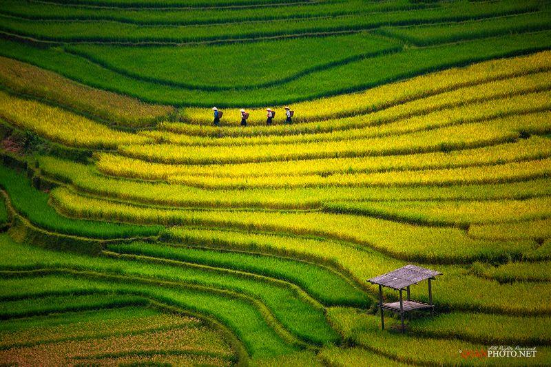 quanphoto, landscape, rice, terraces, golden, harvest, farmland, agriculture, panorama, vietnam, rural, people, woman, culture Harvest of terraced fieldsphoto preview
