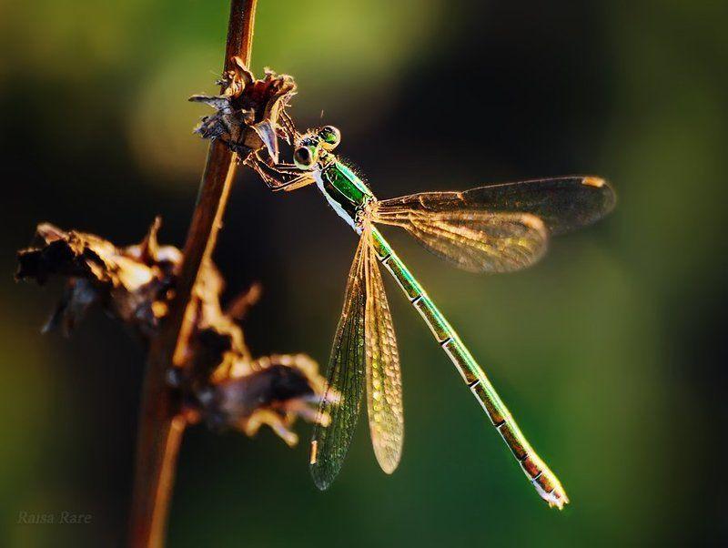 изумрудик, raisa rare, rare, стрекоза, насекомое, лето, зелёный, Изумрудик.photo preview