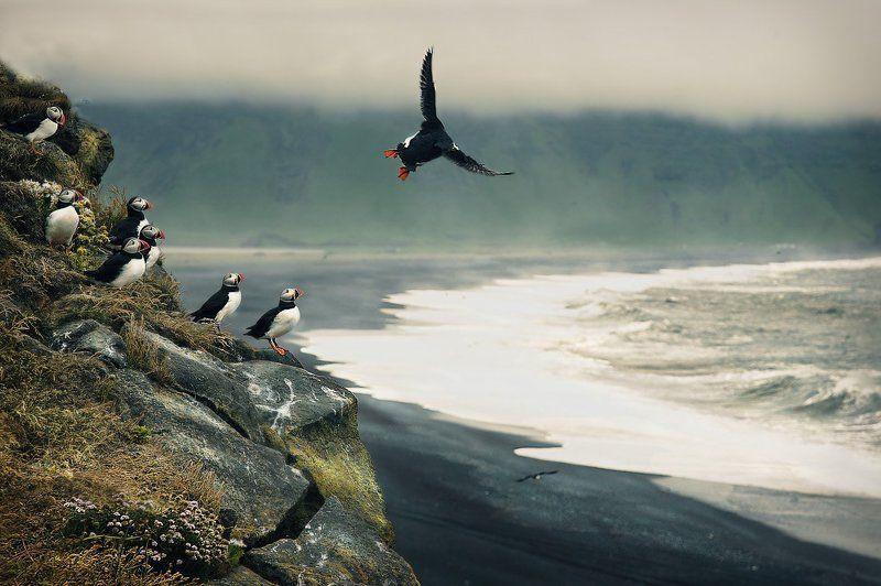исландия, птицы Последний раз показываю....photo preview