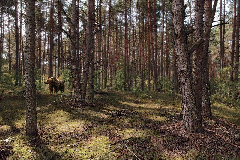 утро в сосновом бору...или такой вот шишкин лес )photo preview