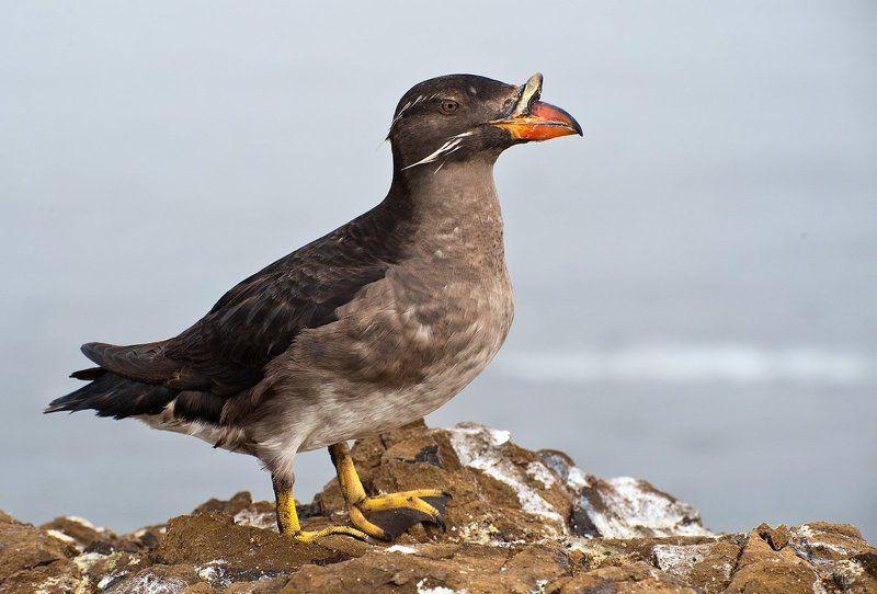 сахалин,  тюлений,  чайки,  птицы,    конюга, моевка,  топорок,  тупик-носорог Остров  Тюлений  2photo preview
