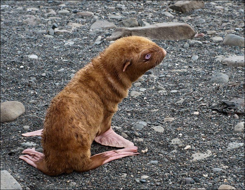 сахалин,  остров  тюлений,  морской  котик,  тюлень,  хромист Хромистphoto preview