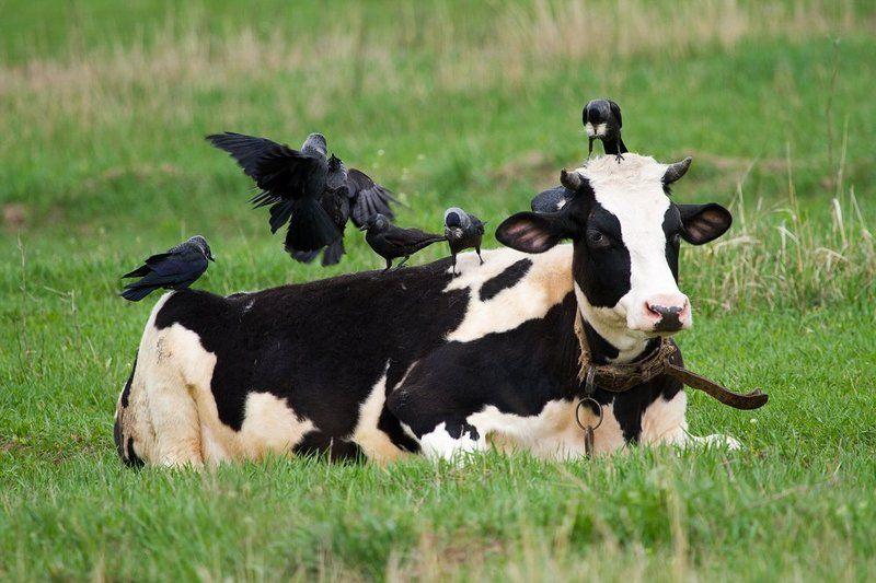 галка, галки, корова СПА-процедурыphoto preview
