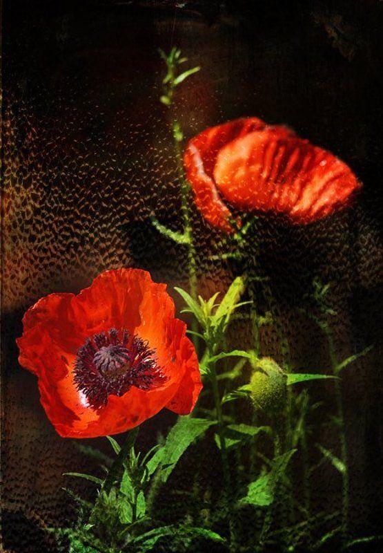 raisa rare, rare, мак, маки, цвет, красный, дождь, окно, запотело. Маков цвет.photo preview
