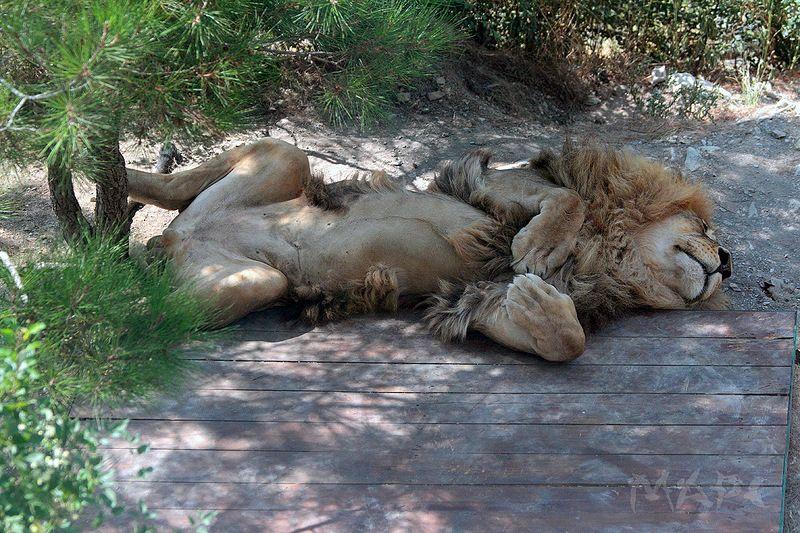 животные лев хищник жара сафари парк Жараphoto preview