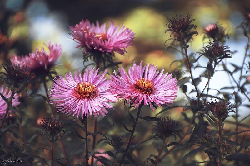 осень, астры, насекомые Яркие краски тёплой осениphoto preview