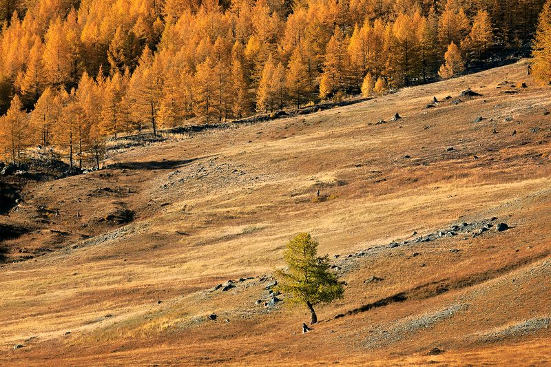 larch, forest, autumn, Altai Republic, West Siberian region, Russia You\'re just different now and there\'s nothing wrong with that (с)photo preview