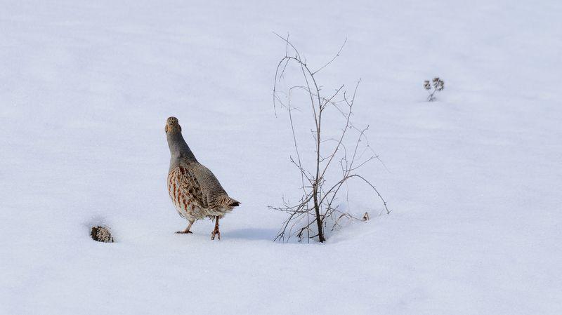 птицы, куропатка, весна, снег Робкий шагphoto preview