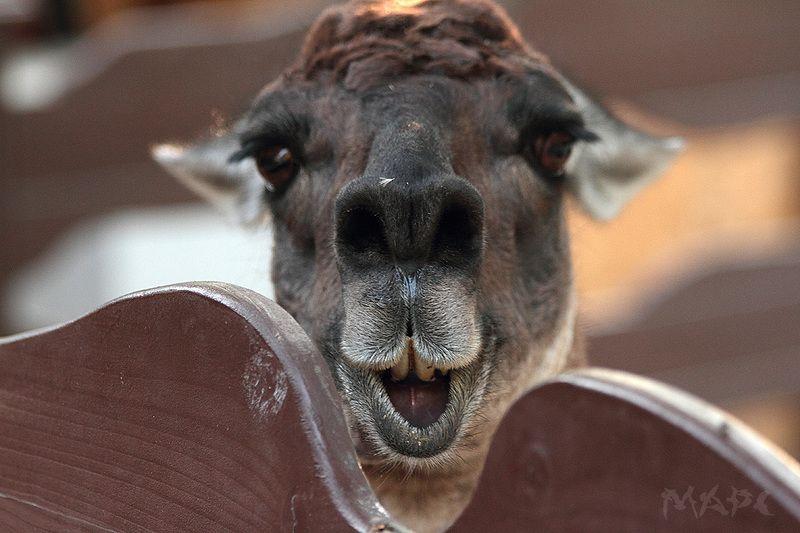 животные лама улыбка Красота страшнаяphoto preview