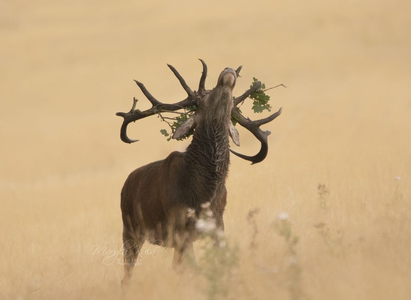 red deer, deer, nature, wildlife, woods, water, bracken, Red Deer Stagphoto preview