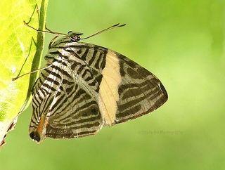 The Zebra Butterfly