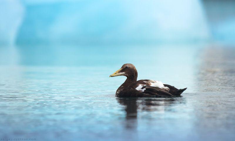 eider, iceland, duck, bird, animal, wildlife, nature, исландия, гага, утка, птицы, животные, природа, Jokulsarlon Гагаphoto preview