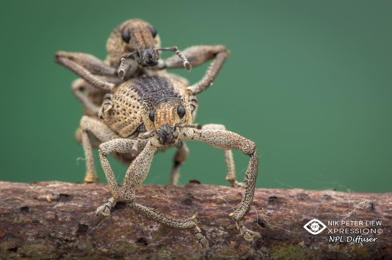 #macro #weevil mating #nature #npl That\'s the way photo preview