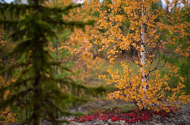 осень, береза, сибирь Осеньphoto preview