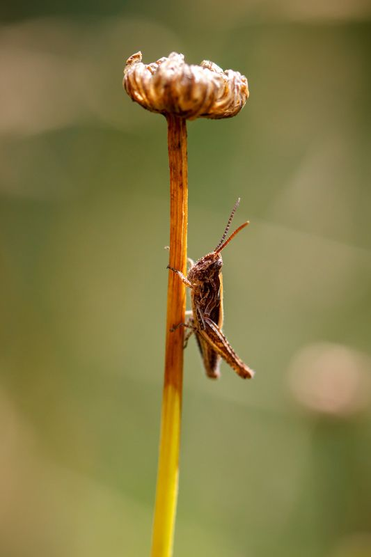 макро, кузнечик, насекомое, сухоцвет Под зонтикомphoto preview