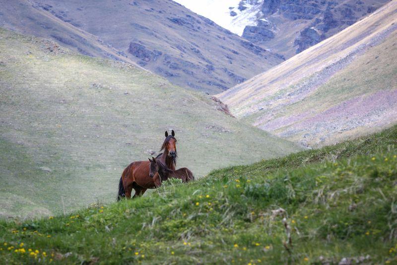 кчр, архзыз,осень ,горы ,кавказ,лошадь ,жеребенок, мухинское ущелье Лошади , Мухинское ущелье ...photo preview