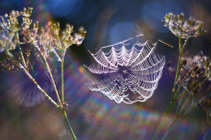 паутина, утро, макро, природа, роса, петцваль, боке Утро в голубомphoto preview
