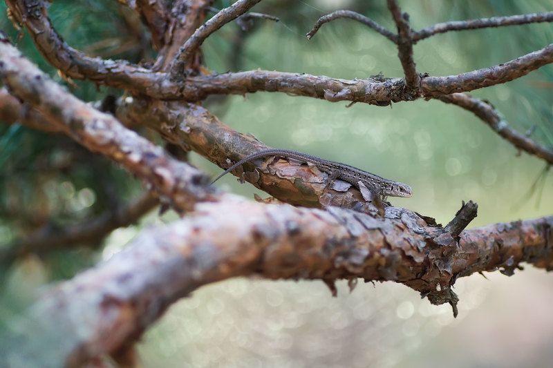 макро, ящерица, ель, лес ***photo preview