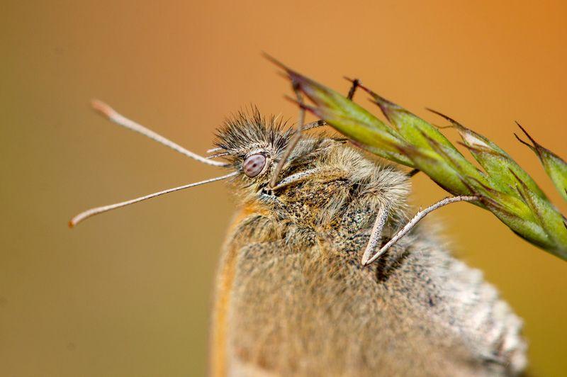 макро, бабочка, насекомое, оранжевый Макрошубкаphoto preview