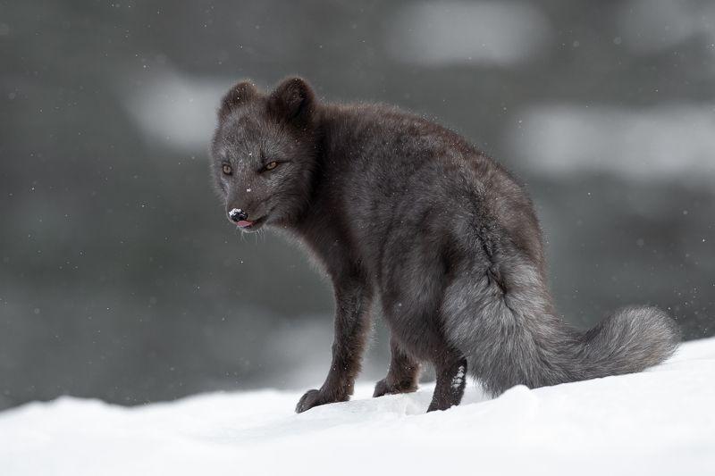 arcticfox, animal, wildlife Arctic Fox in snowphoto preview