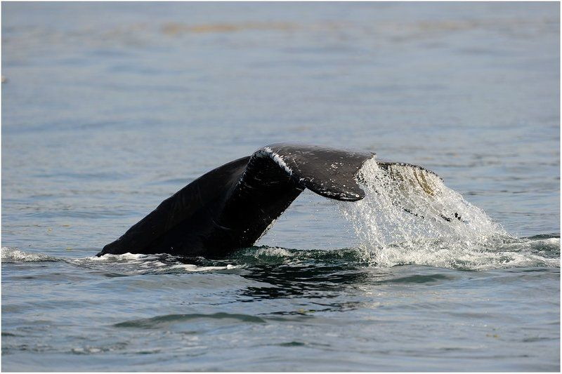 аляска,киты хвост. Помашем хвостом.photo preview