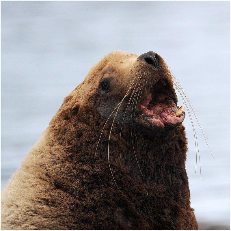 аляска,уналашка,морской лев. Старый вожак.photo preview