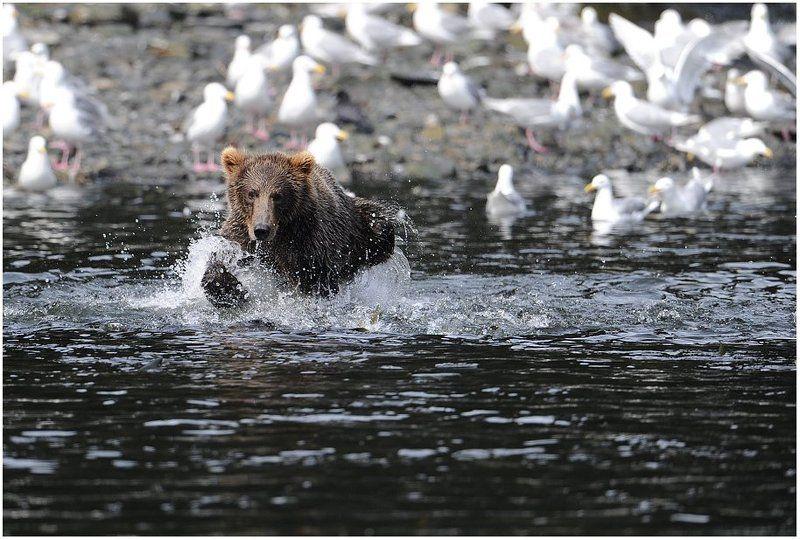 аляска,медведь, Сконцентрированый.photo preview