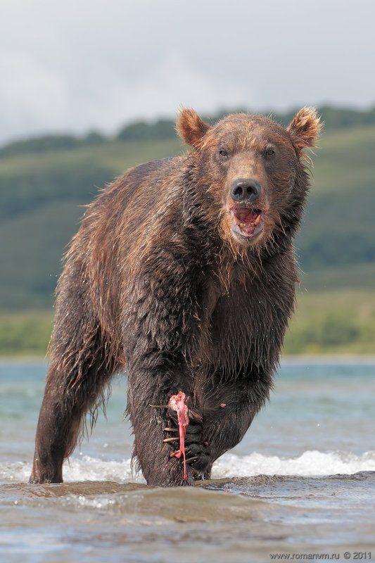 камчатка, медведь, озеро курильское, нерка Балу.photo preview
