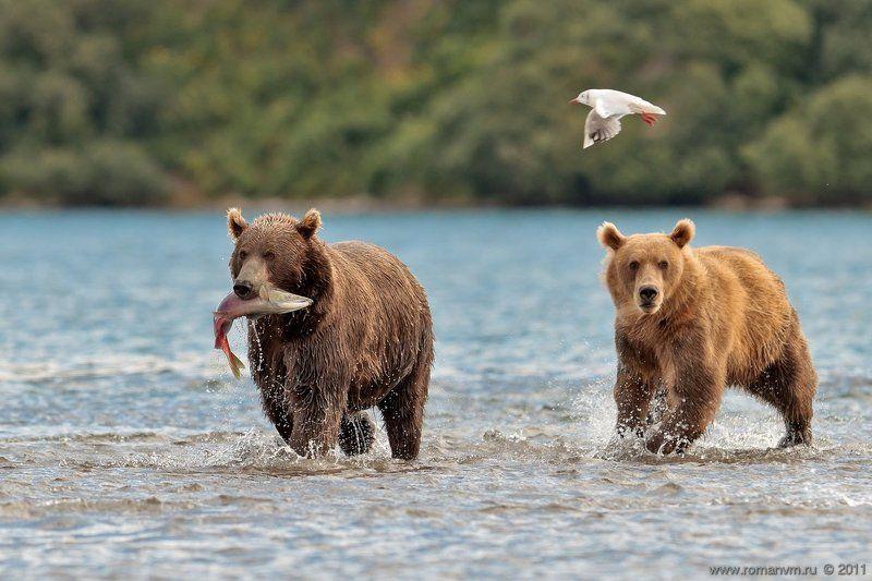 камчатка, медведь, озеро курильское, нерка, чайка Одна на троих...photo preview
