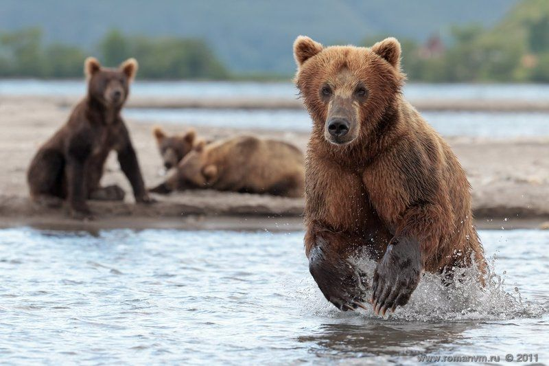 камчатка, медведь, озеро курильское Добытчицаphoto preview