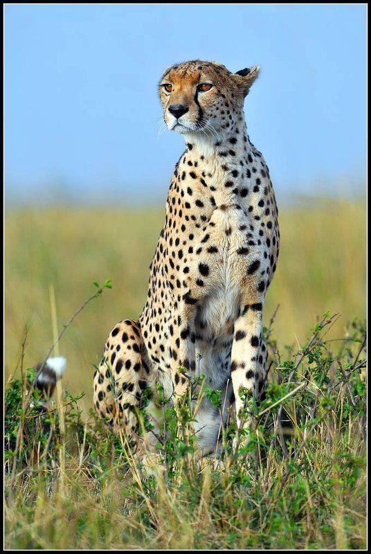 кения, чита На охоте.photo preview