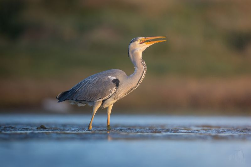 grey heron and shrimpphoto preview