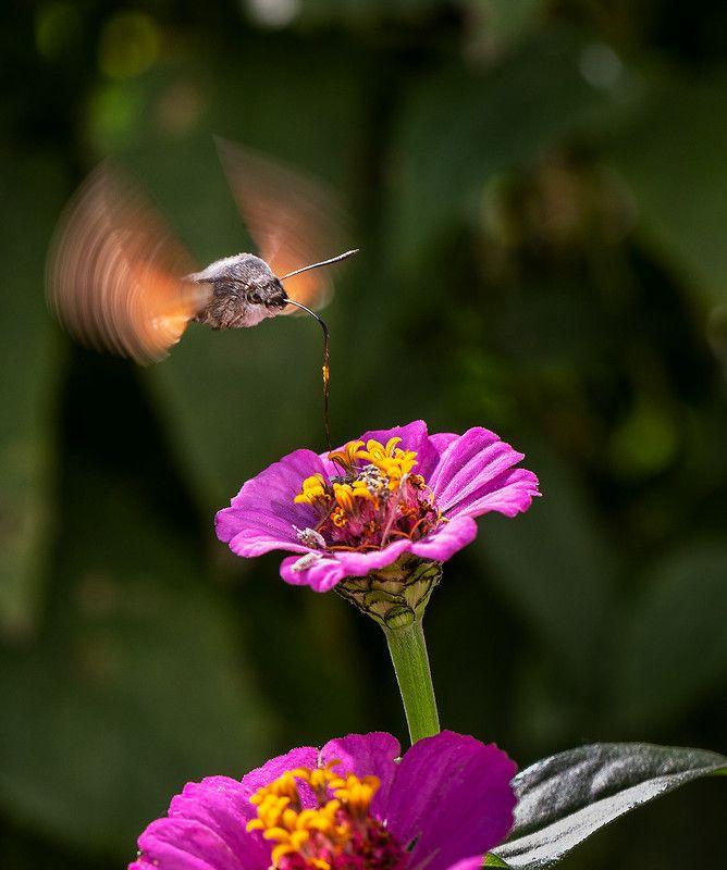 бабочка бражник языкан обыкновенный macroglossum stellatarum Языканphoto preview