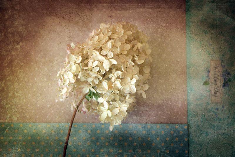 сезон дождей, гортензия цветет...photo preview