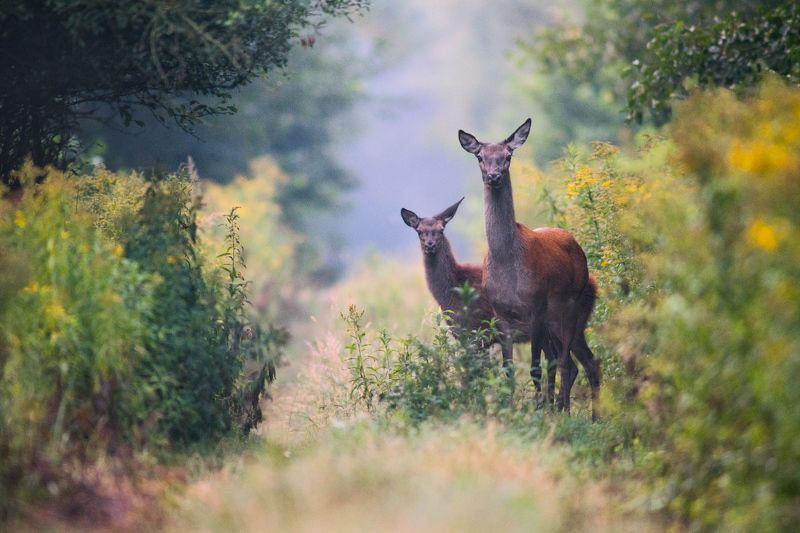 mother, female, young, deers, deer, wildlife Walk with motherphoto preview