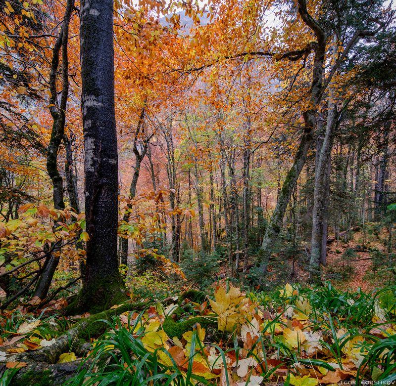 кавказ,домбай,горы,осень,лес,облака,туман,дождь,пейзаж,природа,камни,водопад,ущелье,аманауз,панорама,фишай Осенний горный лесphoto preview