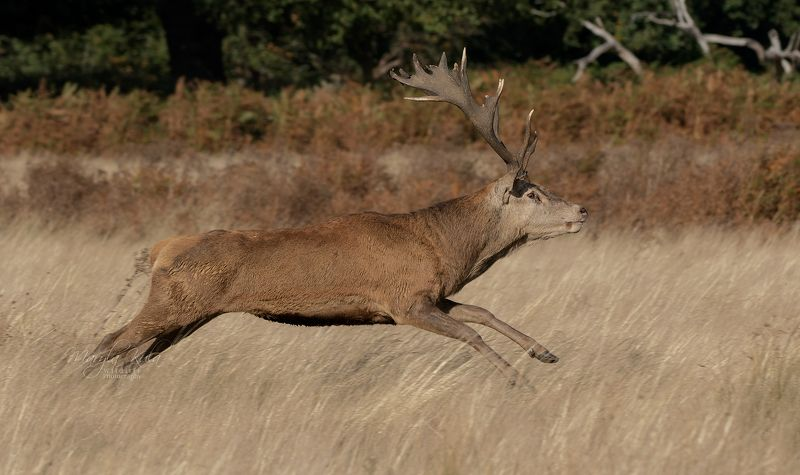 red deer, deer, nature, wildlife, woods, rutting, bellowing, action, speed, bracken, Red Deer Stagphoto preview
