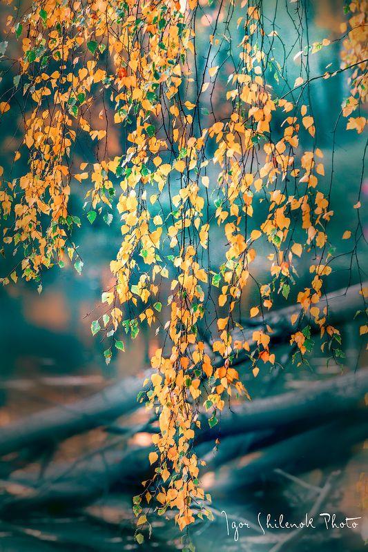 осень, листья, берёза photo preview