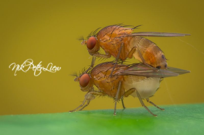 #Macro #Fruits Fly #NPL Diffuser #Nature Mating of Fruits Flyphoto preview