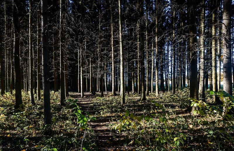 Вечер в сосновом лесуphoto preview