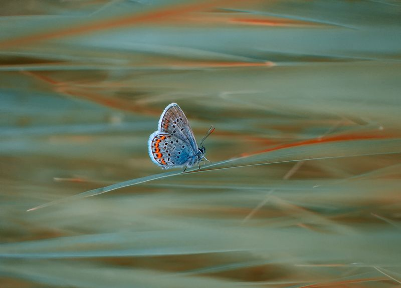 бабочка, макро, голубянка Нереальная реальностьphoto preview