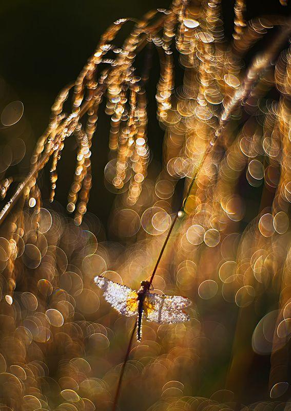 стрекоза, макро, роса, утро, природа, насекомое, боке, petzval Золото утраphoto preview