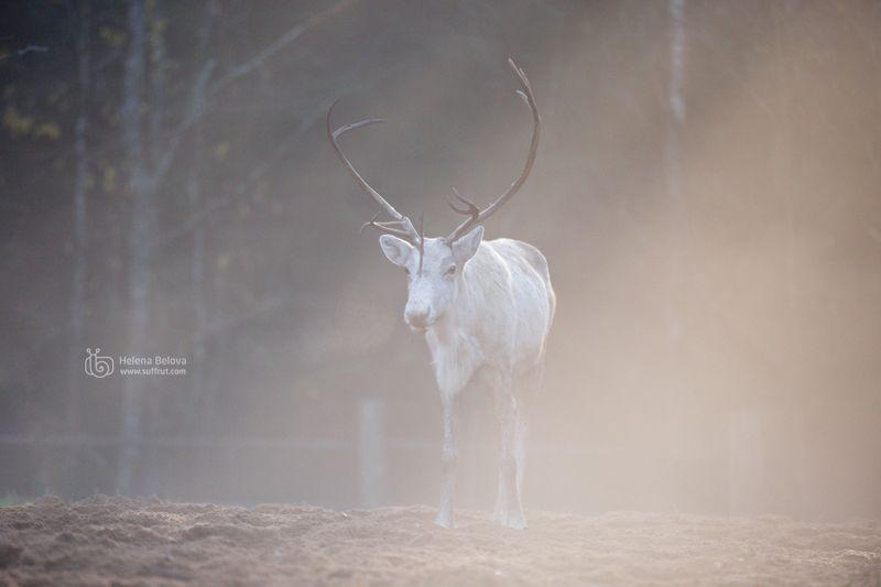Туманный свет и северные олени в нёмphoto preview
