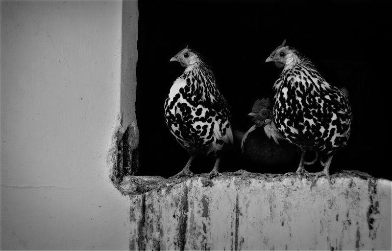 twilight, hen, cock, animal, b&w, курица, петух Before Twilightphoto preview
