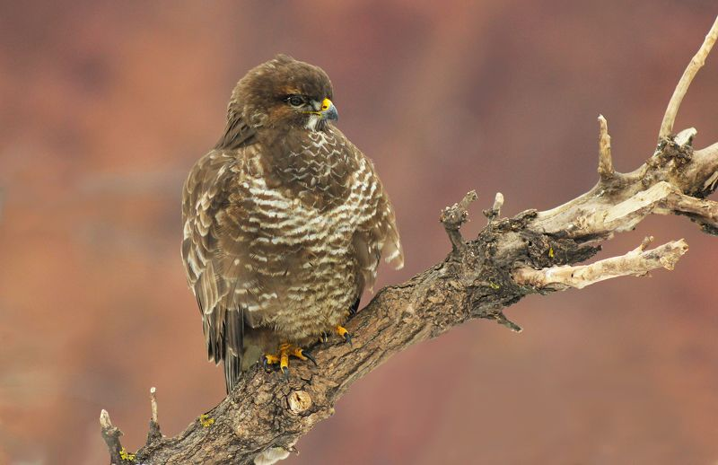 Канюк.(Buteo buteo)photo preview
