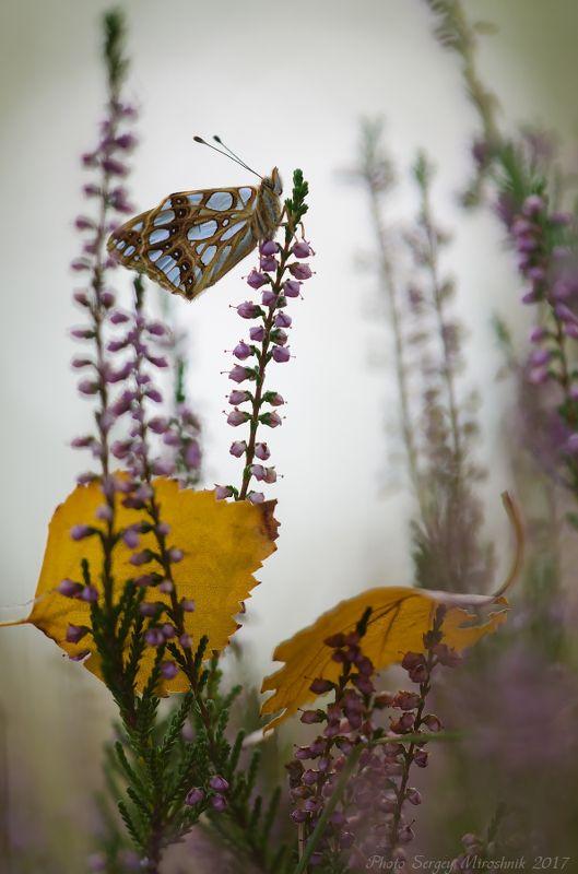 макро, бабочка, осень, сентябрь, красиво, растение, насекомое, вечер, украина, листья Бабочка, верес и жёлтые листья.photo preview