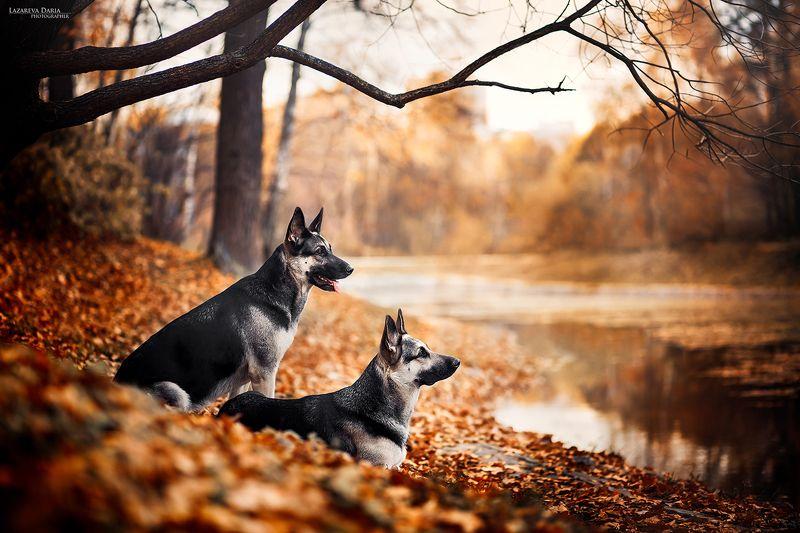 собака, природа, овчарка, лес, осень, пруд Сестрыphoto preview