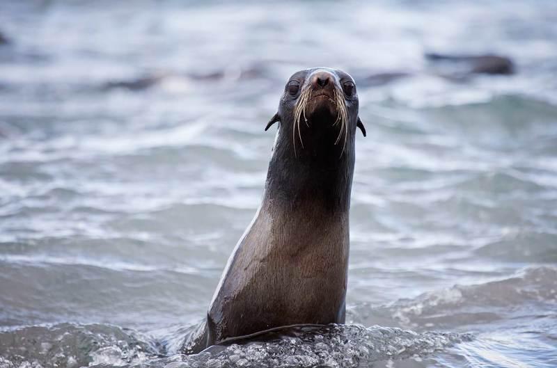 северный морской котик, морские млекопитающие, тихий океан, остров беринга, командорские острова Любопытствоphoto preview