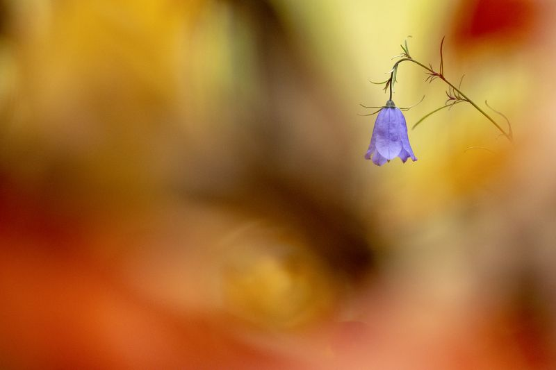 цветы,цветок,макро,растения,природа,осень,колокольчик,листва Пылает осенний лесphoto preview